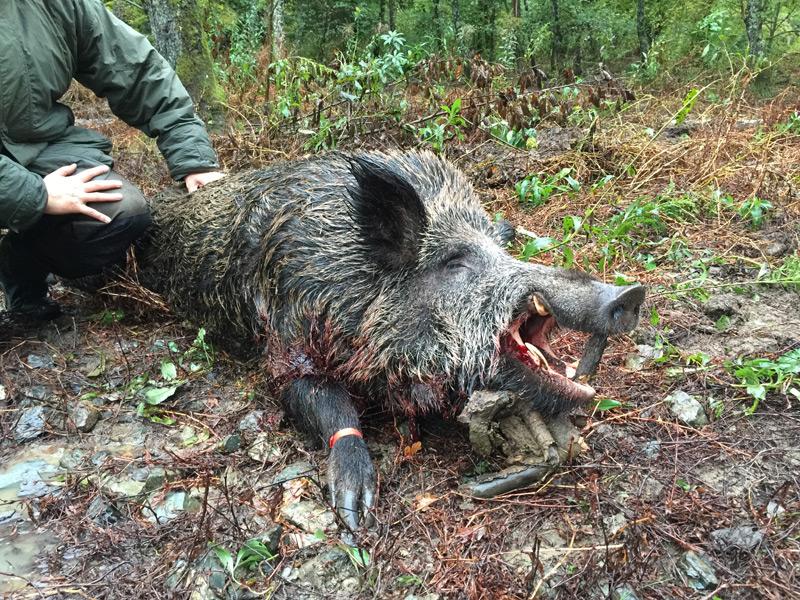 Driven Boar Austria