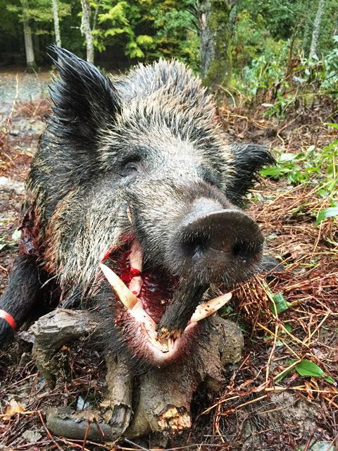 Driven Wild Boar Shooting