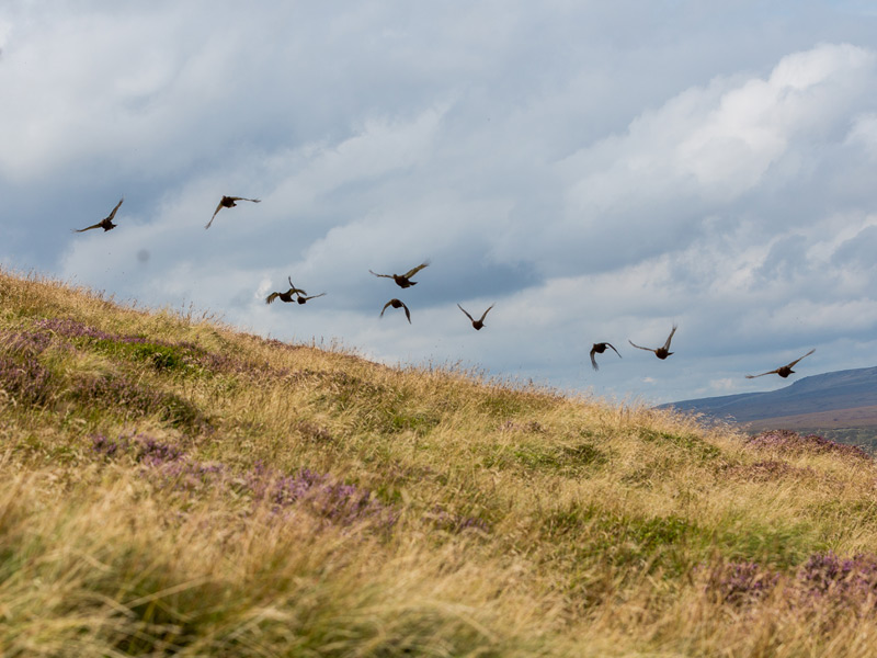 Driven Grouse Shooting Update 2018 - William Powell Sporting