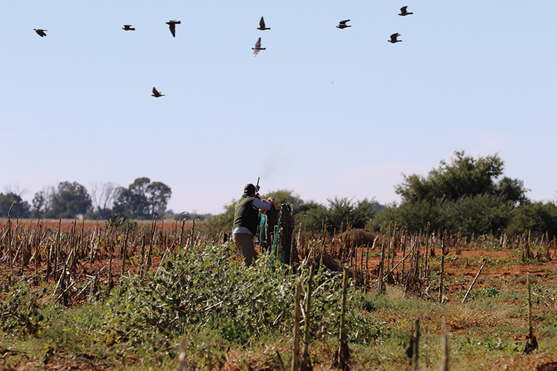 South African Rock Pigeon Shooting