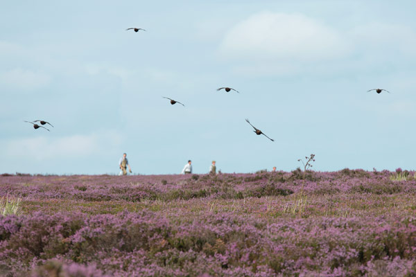 Phoines - Driven Grouse Shooting