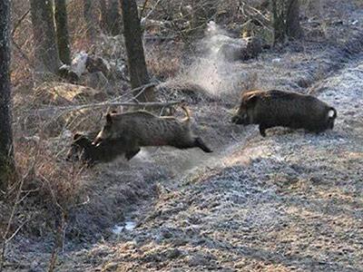 Driven European Wild Boar